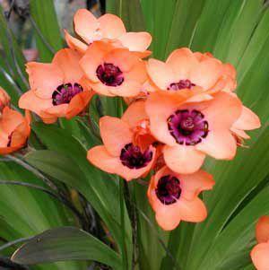 Спараксис цвете