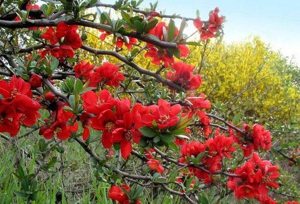 Цъфтящи храсти за вили японски дюля