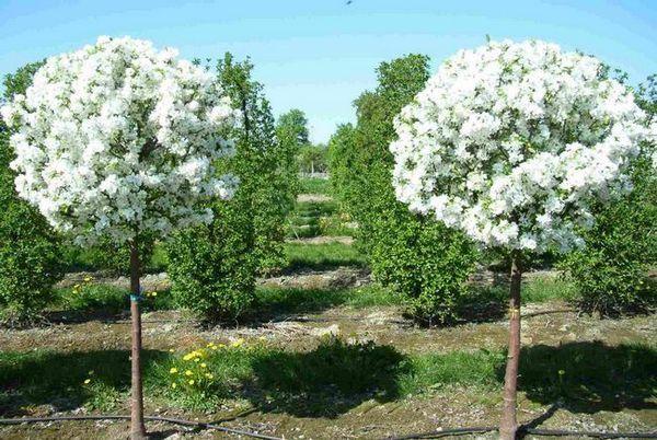 Декоративни ябълкови дървета