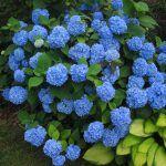 Снимка 52: Синята хортензия