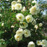 Снимка 53: Бялото куче роза