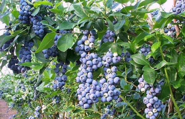 Градина боровинка засаждане и грижи