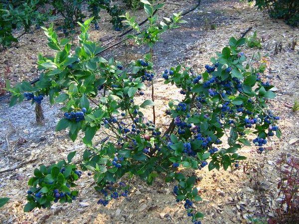 Засаждане на боровинка градина