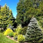 Снимка 9: Високи иглолистни дървета