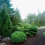 Снимка 4: Кръгли иглолистни храсти