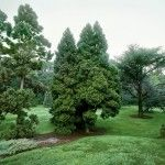 Снимка 3: Високо иглолистно дърво
