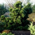 Снимка 1: Иглолистно дърво