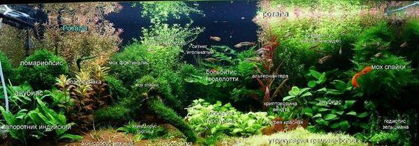 Разпределение на растенията за холандския аквариум