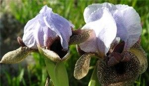 Iris холандски bulbous