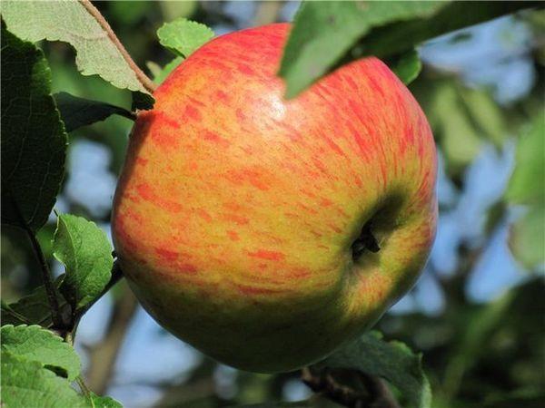 Ябълково дърво Медуника описание, снимка