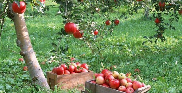 Кутия с ябълки
