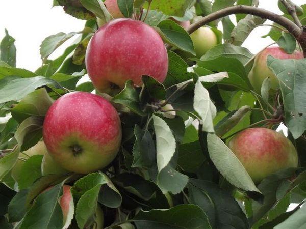 Описание на ябълковото дърво и снимка