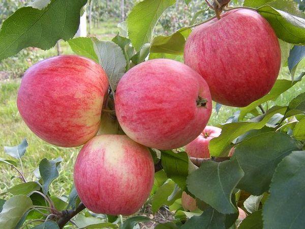 Култивиране на ябълковото дърво