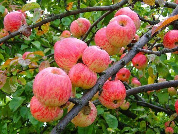 Apple ябълка сортиране