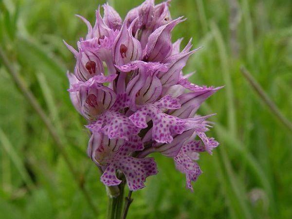 Снимки и видове на Orchis