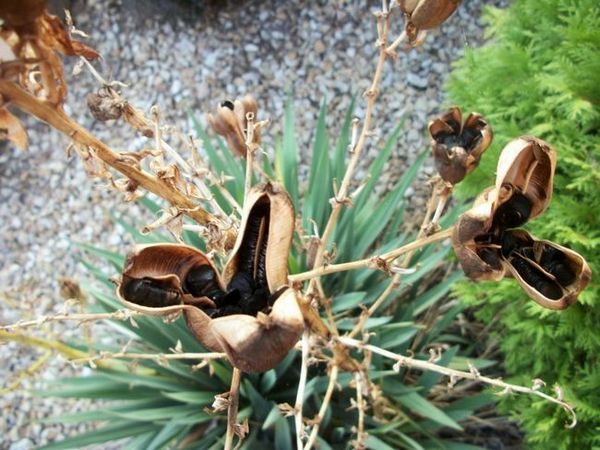 Насищане на семена от юка