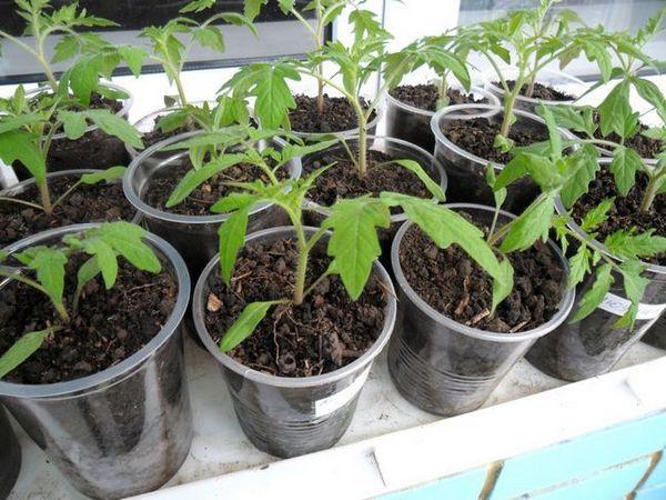 Засаждане на домати