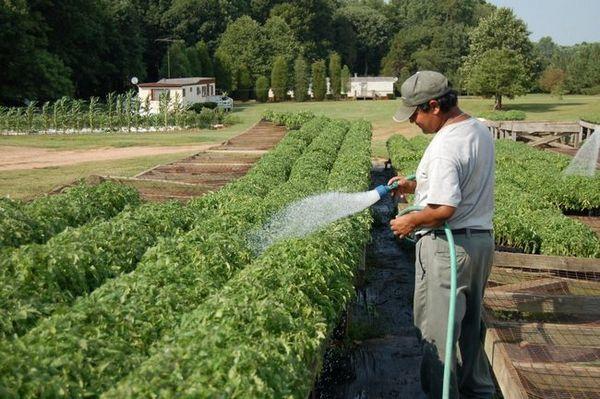Поливане на домати