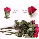 Снимка 40: Свежи и стари рози