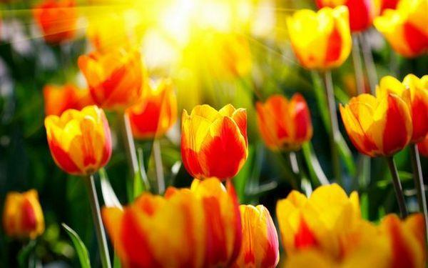 Цветя на лалетата