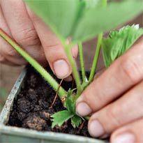 Възпроизвеждането на ягоди с мустаци