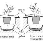 Снимка 3: Засаждане на боровинки в различни почви