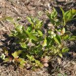 Снимка 6: Засаждане на боровинка градина