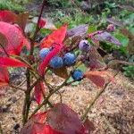 Снимка 17: Колекции от боровинки
