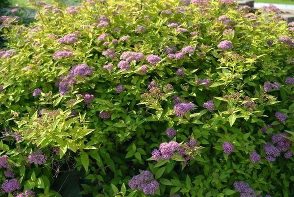 Spiraea японски в градината