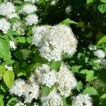 Снимка 23: Спирийски храст с бели цветя през пролетта
