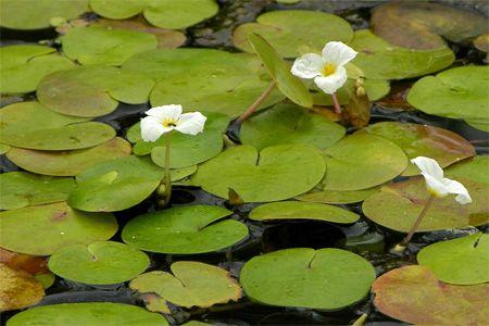 Типично водно растение - акварел