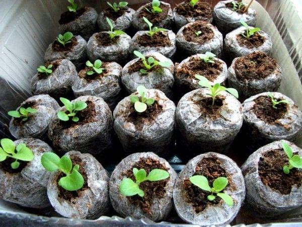растящи разсад