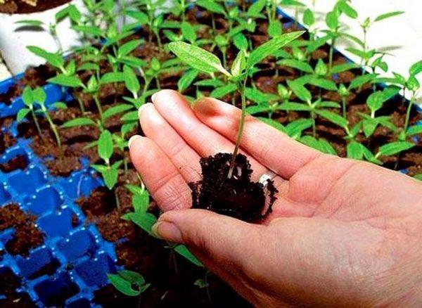 Как да отглеждаме разсад в торфени таблетки (3)