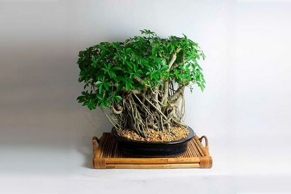 Продукт от седмицата дърво бонсай