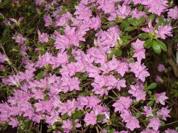 Хедър цветя