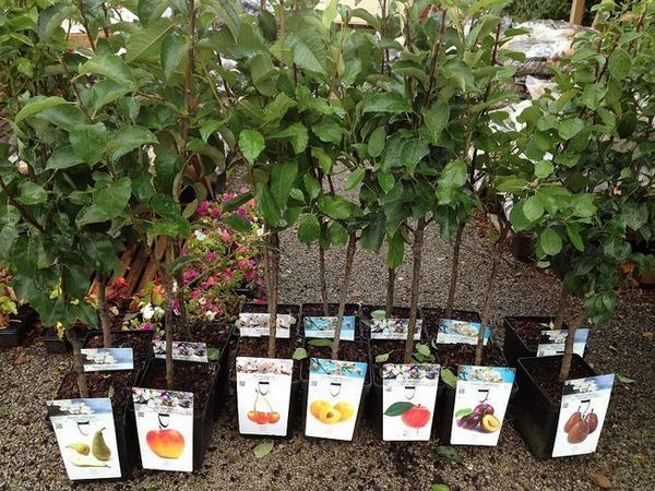 Изберете разсад от плодни дървета
