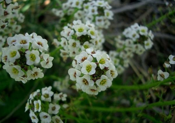 Lobularia - достоен украшение на всяка градина