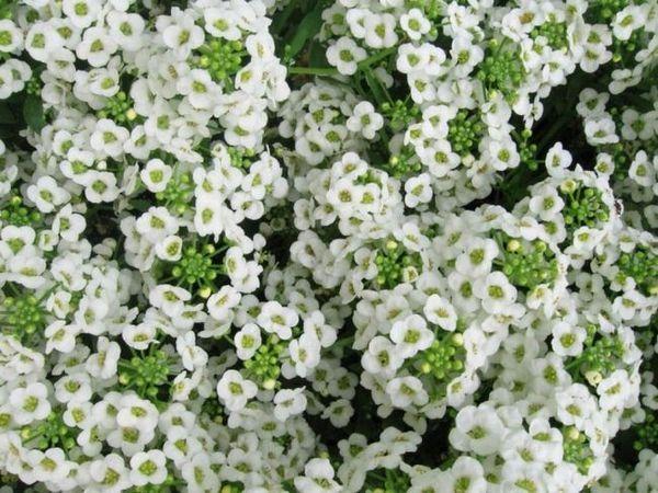 Lobularia (alissum)