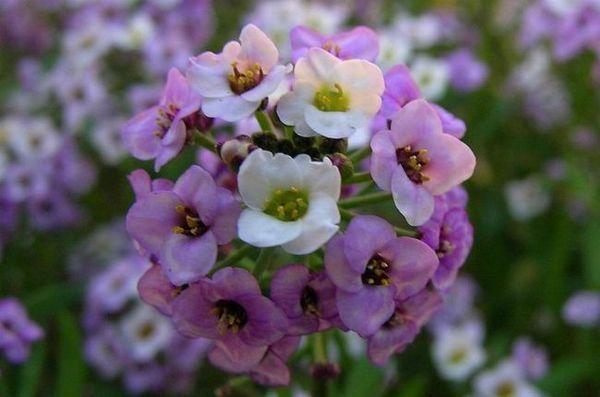 Lobularia е красива във всяка композиция