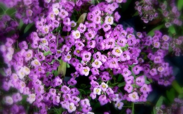 Lobularia в градината