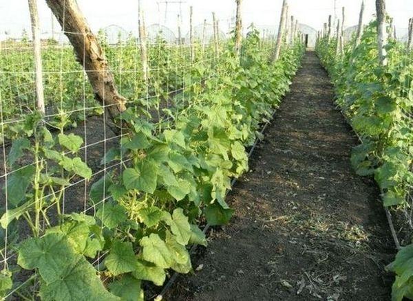 Гоблени за отглеждане на краставици