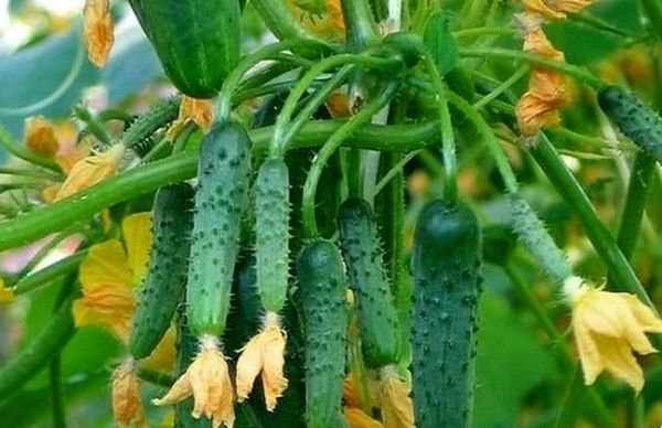 Богата реколта