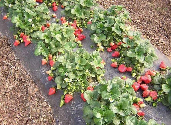 Отглеждане на градински ягоди от семена