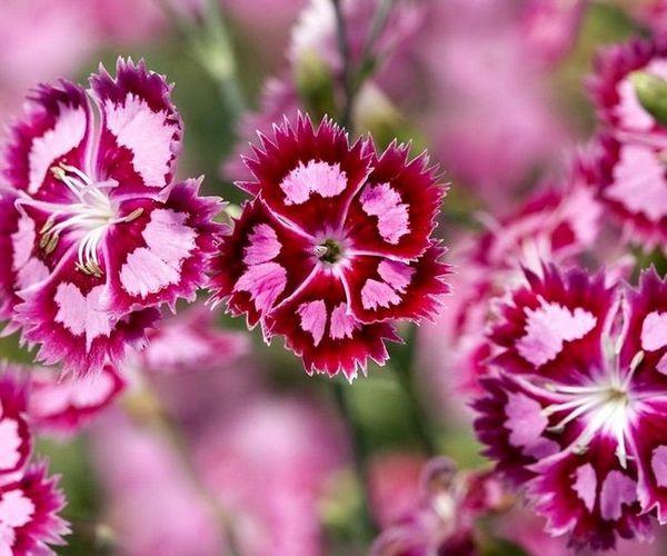 турски карамфили цветя