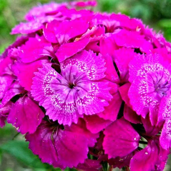 карамфил турски цветя