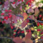 Снимка 30: Орлови нокти червено през есента